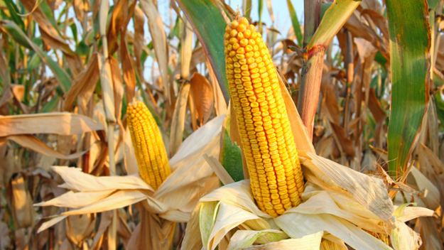 Corn (Photo Credit: Thinkstock)