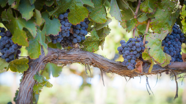 Wine Grapes (Photo Credit: Thinkstock)